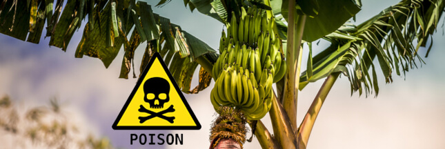 L'État laisse-t-il volontairement la Martinique s'empoisonner au chlordécone ?
