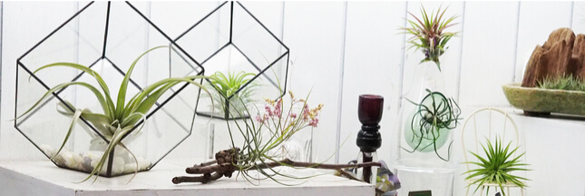 tillandsia ces myst rieuses plantes sans racine. Black Bedroom Furniture Sets. Home Design Ideas
