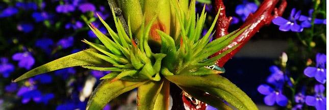 Tillandsia : ces mystérieuses plantes sans racine