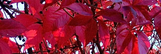 vigne-rouge