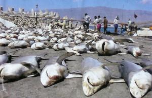Requins décimés