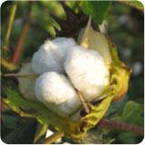 coton pachama'
