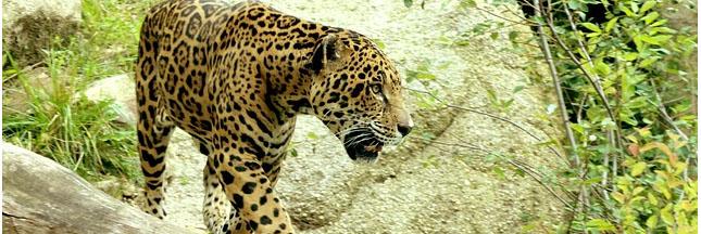 La disparition du jaguar met en danger la forêt d'Amazonie