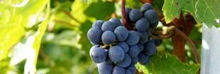Épandage de pesticides obligatoire : le viticulteur bio condamné