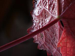 vin-vignoble-vigne-automne-feuilles-01