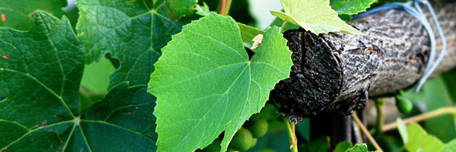 vin-viticuleur