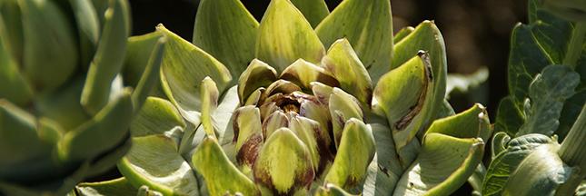 artichaut-legume-vert-alimentation-ban