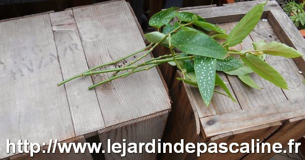 jardinage bouture-begonia-mars-02