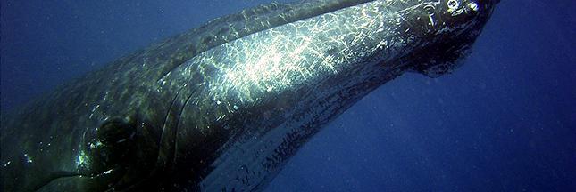 chasse-a-la-baleine-rorqual-commun-ban