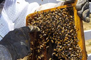 miel-abeille-insectes-apiculture-entomophagie