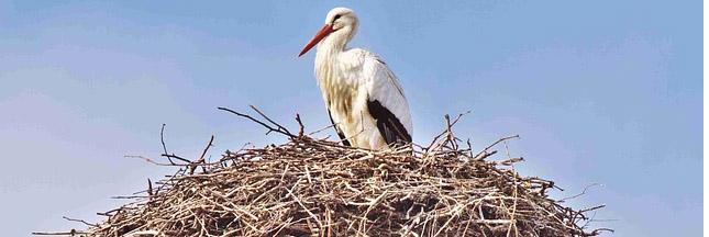 Idée reçue : les oiseaux dorment dans un... nid d'oiseau