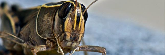 sauterelle-entomophagie-insecte-alimentation-ban