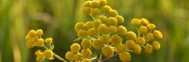 L'huile essentielle de tanaisie: des vertus insoupçonnées