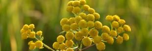 L'huile essentielle de tanaisie : des vertus insoupçonnées
