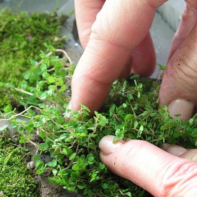tapis végétal