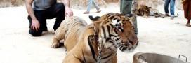Le Temple des Tigres en Thaïlande au coeur de vives polémiques