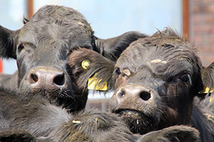 vaches-elevage-animaux