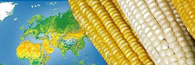 La culture des OGM recule dans le monde - vrai ou faux ?