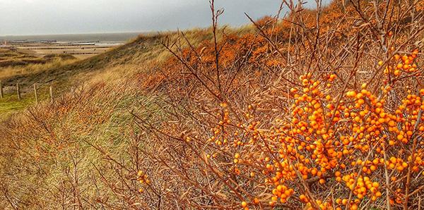 argousier-plage-dunes