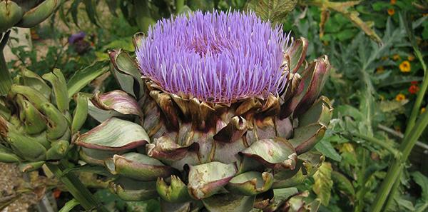 artichaut-fleur