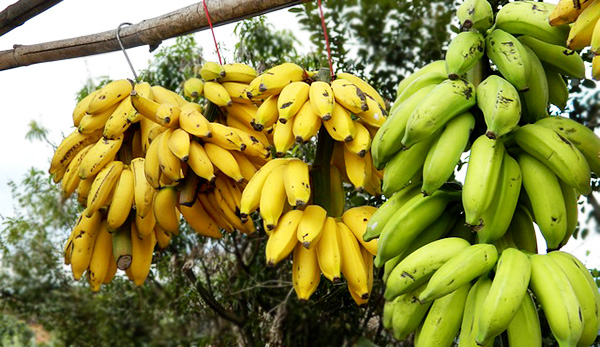bananes-commerce-alimentation-01