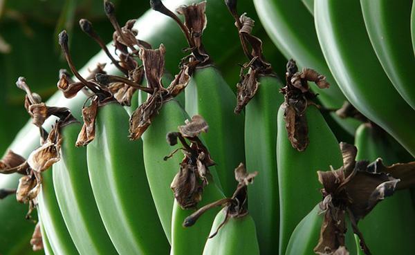 bananes-plantation-alimentation