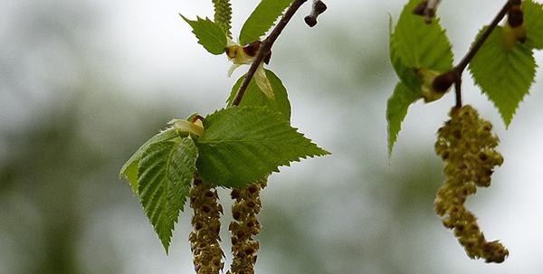 feuilles-bouleau-biologique