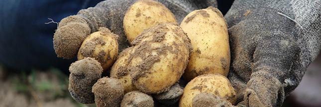 planter-pomme-de-terre-patate-agriculture-04-ban