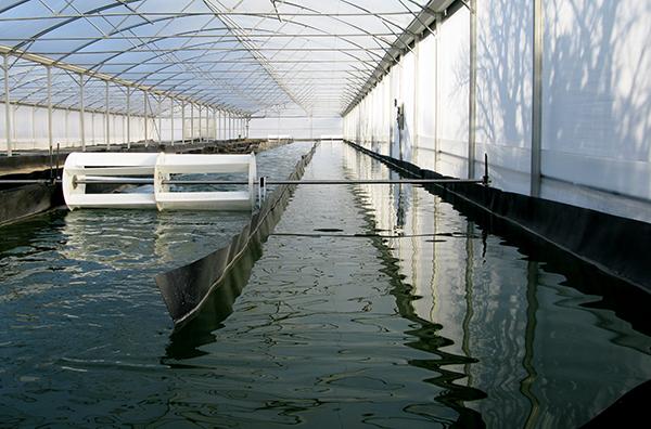 un-bassin-de-recolte-de-la-spiruline