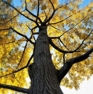 le ginkgo arbre indestructible aux vertus miraculeuses. Black Bedroom Furniture Sets. Home Design Ideas