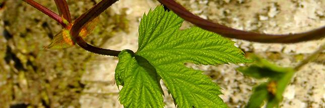 Des filtres qui captent 50% de la pollution : les feuilles d'arbres