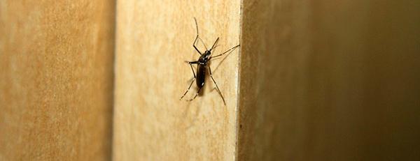 moustique-dengue-paludisme-morsure-aedes-ogm-02