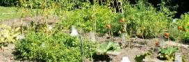 Association de plantes: savez-vous planter les choux?