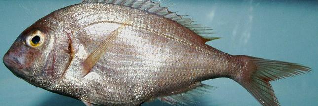Le pagre, encore un poisson à éviter