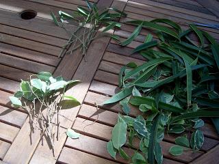 ficus bouture ficus Benjamina méthode jardinage plante d'intérieur