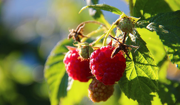 framboise-fruit-antioxydant-bienfaits-03