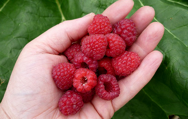 framboise-fruit-antioxydant-bienfaits-04