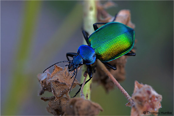 grand-calosome-foret-biodiversite-animaux