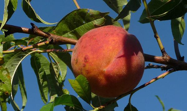 peches-fruit-ete-04