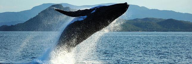 Islande ; 40% de la viande de baleine consommés par les touristes