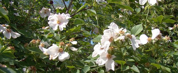 rose-musquee-fleur-juin-jardin-bio
