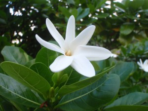 Arbuste Tiaré
