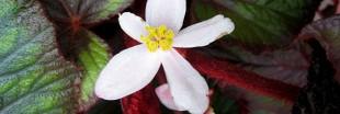 En juillet, la bouture du Begonia Rex