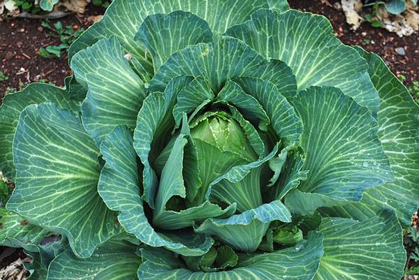chou-legume-jardin-bio-choux-salade-jardinage-05