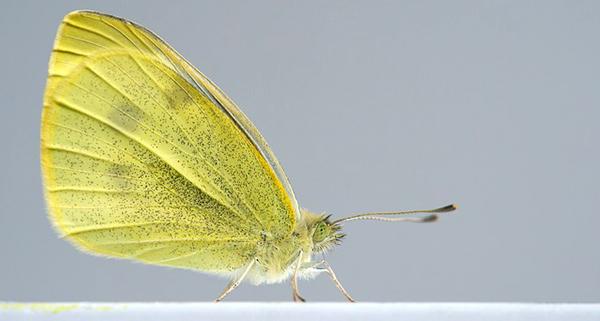 pieres-rapae-pieride-de-la-rave-papillon-petit-chou-01