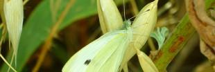 Jardin bio - En juillet, protégez vos choux de la piéride