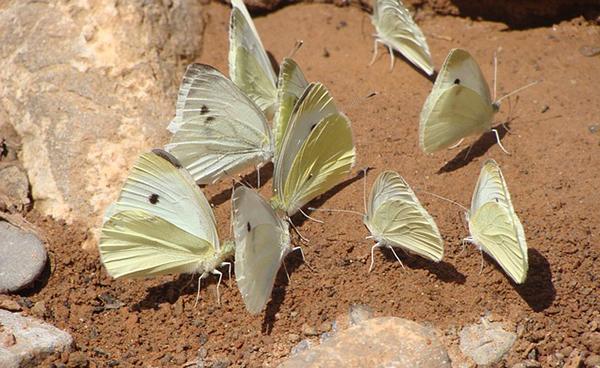 pieris-brassicae-pieride-du-chou-papillon-blanc-choux-potager-01