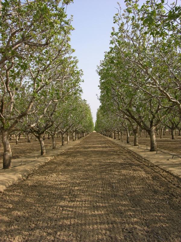 pistachiers-californie