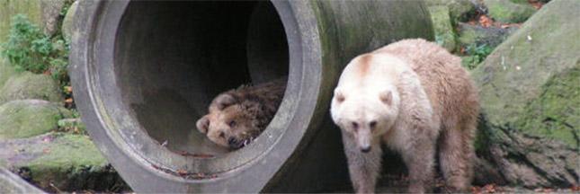 Grolar ou pizzly, l'ours du changement climatique ?