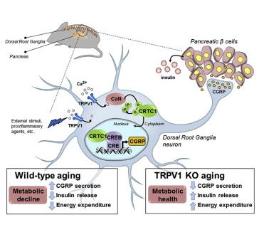 Le récepteur TRPV1 a une action dans le pancréas (© Cell)